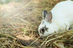 Αθώος λίγο άσπρο κουνέλι στο άχυρο στοκ φωτογραφία με δικαίωμα ελεύθερης χρήσης
