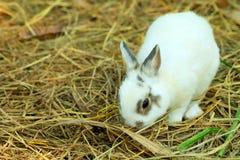 Αθώος λίγο άσπρο κουνέλι στο άχυρο στοκ εικόνες με δικαίωμα ελεύθερης χρήσης