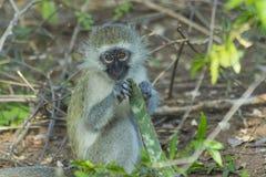 Αθώος πίθηκος μωρών vervet που τρώει εγκαταστάσεις στοκ φωτογραφία με δικαίωμα ελεύθερης χρήσης