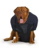 Αθλητικό κυνηγόσκυλο Στοκ Φωτογραφίες