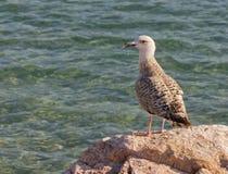 αιγαίο seagull ασήμι Στοκ εικόνα με δικαίωμα ελεύθερης χρήσης