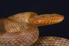 Αιγυπτιακά φίδι γατών/obtusus dhara Telescopus Στοκ εικόνα με δικαίωμα ελεύθερης χρήσης