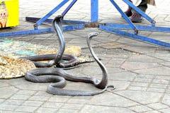 Αιγυπτιακά cobras (Naja haje) που γοητεύονται στην πλατεία Djemaa EL Fna, Μαρακές, Μαρόκο στοκ εικόνες