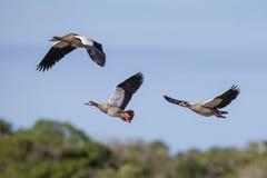 Αιγυπτιακές χήνες που πετούν τη Νότια Αφρική Στοκ Φωτογραφία