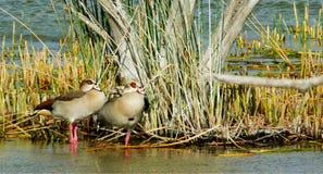 αιγυπτιακές χήνες Στοκ Εικόνα
