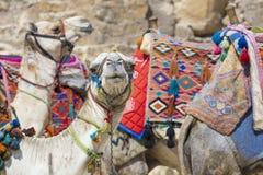 Αιγυπτιακή καμήλα στο υπόβαθρο πυραμίδων Giza Τουριστικό αξιοθέατο - Στοκ Φωτογραφίες