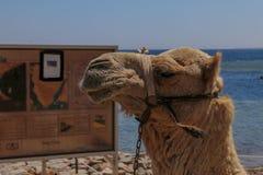 Αιγυπτιακή καμήλα Στοκ Εικόνα