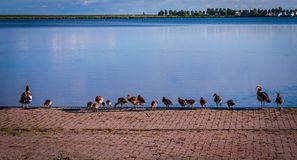Αιγυπτιακή χήνα με τους νεαρούς τους στην Ολλανδία στοκ εικόνες