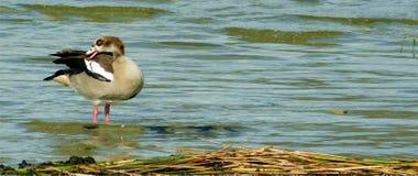 Αιγυπτιακή χήνα στοκ εικόνα με δικαίωμα ελεύθερης χρήσης