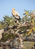 Αιγυπτιακός γύπας. Νησί Socotra Στοκ φωτογραφίες με δικαίωμα ελεύθερης χρήσης