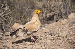 Αιγυπτιακός γύπας. Νησί Socotra Στοκ εικόνες με δικαίωμα ελεύθερης χρήσης