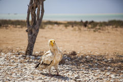 Αιγυπτιακός γύπας σε Socotra Στοκ φωτογραφία με δικαίωμα ελεύθερης χρήσης