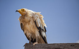 Αιγυπτιακός γύπας σε Socotra Στοκ φωτογραφίες με δικαίωμα ελεύθερης χρήσης