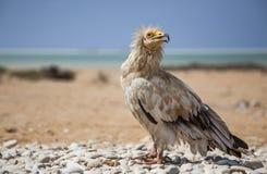 Αιγυπτιακός γύπας σε Socotra Στοκ Εικόνα