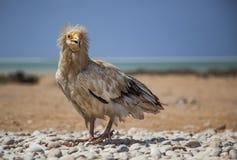 Αιγυπτιακός γύπας σε Socotra Στοκ εικόνα με δικαίωμα ελεύθερης χρήσης