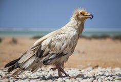 Αιγυπτιακός γύπας σε Socotra Στοκ Φωτογραφίες