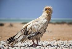 Αιγυπτιακός γύπας σε Socotra Στοκ εικόνες με δικαίωμα ελεύθερης χρήσης