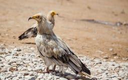 Αιγυπτιακός γύπας σε Socotra Στοκ Εικόνες