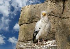 αιγυπτιακός γύπας Στοκ Φωτογραφίες