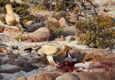Αιγυπτιακός γύπας Στοκ Φωτογραφία