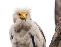 αιγυπτιακός γύπας Στοκ εικόνα με δικαίωμα ελεύθερης χρήσης