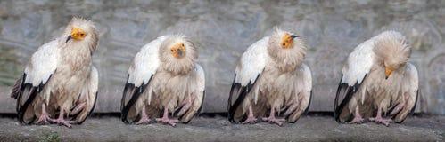 αιγυπτιακός γύπας Στοκ Εικόνες