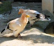 αιγυπτιακός γύπας Στοκ εικόνες με δικαίωμα ελεύθερης χρήσης
