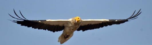 αιγυπτιακός γύπας Στοκ φωτογραφία με δικαίωμα ελεύθερης χρήσης