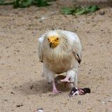 αιγυπτιακός γύπας Στοκ Εικόνα