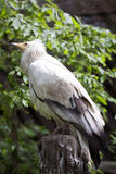 Αιγυπτιακός γύπας, Neophron π Το Percnopterus, ξοδεύει τον μεγαλύτερο μέρος του χρόνου του στον αέρα που ψάχνει τα τρόφιμα Στοκ φωτογραφία με δικαίωμα ελεύθερης χρήσης