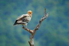 Αιγυπτιακός γύπας, percnopterus Neophron, μεγάλη συνεδρίαση πουλιών του θηράματος στον κλάδο, πράσινο βουνό, βιότοπος φύσης, Madz Στοκ εικόνες με δικαίωμα ελεύθερης χρήσης