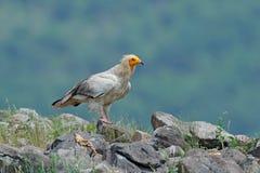 Αιγυπτιακός γύπας, percnopterus Neophron, μεγάλη συνεδρίαση πουλιών του θηράματος στην πέτρα, βουνό βράχου, βιότοπος φύσης, Madza Στοκ Φωτογραφία