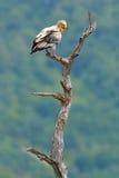 Αιγυπτιακός γύπας, percnopterus Neophron, μεγάλη συνεδρίαση πουλιών του θηράματος στον κλάδο, πράσινο βουνό, βιότοπος φύσης, Madz Στοκ Εικόνες