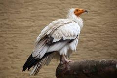 αιγυπτιακός γύπας percnopterus neophron Στοκ εικόνα με δικαίωμα ελεύθερης χρήσης