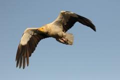 αιγυπτιακός γύπας percnopterus neophron Στοκ εικόνες με δικαίωμα ελεύθερης χρήσης