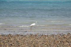 Αιγυπτιακό πουλί ερωδιών - θρεσκιόρνιθα Bubulcus στοκ εικόνες