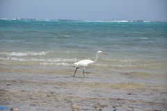 Αιγυπτιακό πουλί ερωδιών - θρεσκιόρνιθα Bubulcus στοκ εικόνα με δικαίωμα ελεύθερης χρήσης