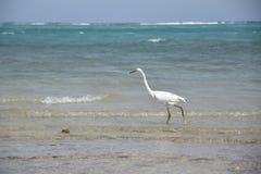 Αιγυπτιακό πουλί ερωδιών - θρεσκιόρνιθα Bubulcus στοκ φωτογραφίες