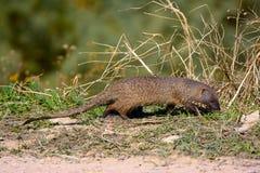 Αιγυπτιακό mongoose Στοκ Φωτογραφίες