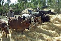 Αιθιοπικοί αγρότης και αγελάδες που αλωνίζουν το συγκομισμένο σιτάρι Στοκ Φωτογραφίες