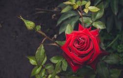Αιματηρός αυξήθηκε και πτώσεις της δροσιάς πρωινού Αγγλικός κήπος Στοκ Εικόνα