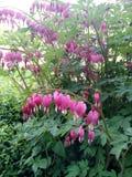 αιμορραγώντας καρδιά λουλουδιών Στοκ φωτογραφία με δικαίωμα ελεύθερης χρήσης