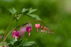 αιμορραγώντας καρδιά λουλουδιών Στοκ εικόνα με δικαίωμα ελεύθερης χρήσης
