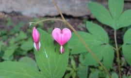 αιμορραγώντας καρδιά λουλουδιών στοκ φωτογραφίες