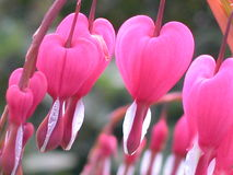 αιμορραγώντας καρδιά Στοκ εικόνες με δικαίωμα ελεύθερης χρήσης