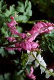 αιμορραγώντας καρδιά λουλουδιών Στοκ εικόνες με δικαίωμα ελεύθερης χρήσης