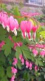 αιμορραγώντας καρδιά λουλουδιών στοκ φωτογραφία
