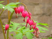 Αιμορραγώντας καρδιές εγκαταστάσεων κήπων Στοκ Εικόνες