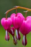 Αιμορραγώντας καρδιές Στοκ Φωτογραφία