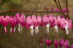 Αιμορραγώντας λουλούδια καρδιών στοκ φωτογραφία με δικαίωμα ελεύθερης χρήσης